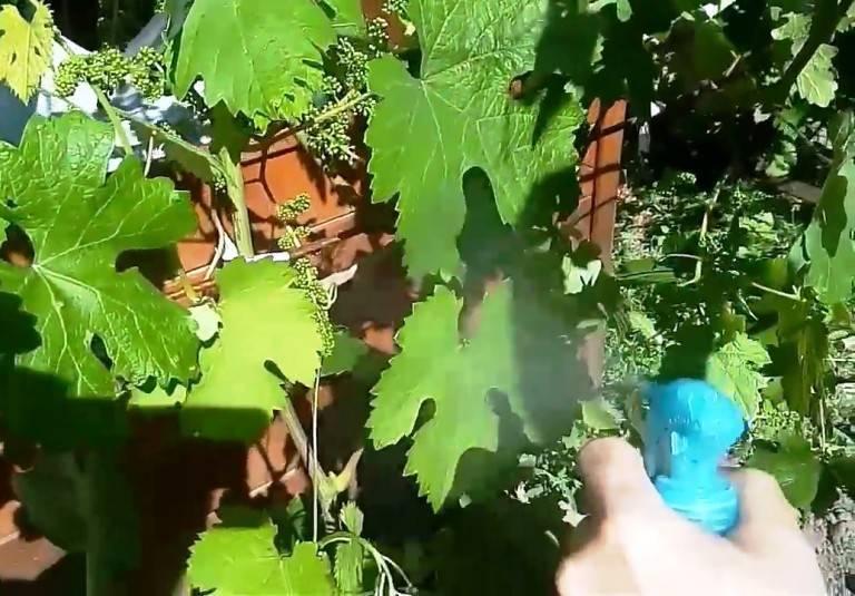 Обак зеленый крупный — сорт винограда