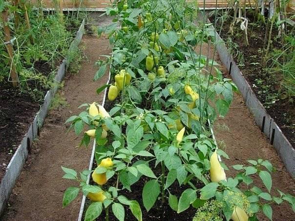 Можно ли вырастить огурцы и баклажаны вместе: условия для выращивания