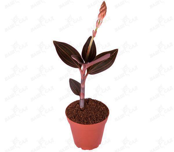 Лудизия – сорта с фото, уход за орхидеей в домашних условиях