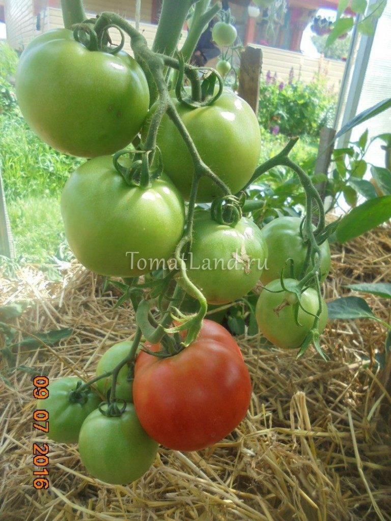 Характеристики и описание томат «марьина f1 роща». отзывы садоводов, фото куста и урожайности.