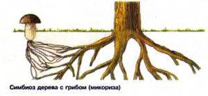 У каких деревьев существует симбиоз с грибами