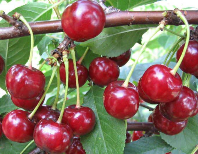 Описание сорта вишни жуковская