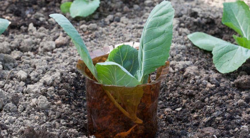Посадка капусты в грунт семенами: технология и схема, видео и фото