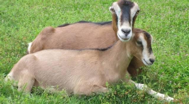 Преимущества и недостатки коз породы ламанча