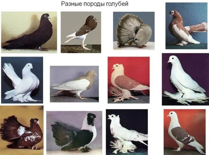 Сизый голубь: описание породы, внешний вид, фото