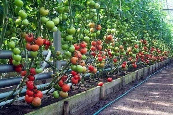 Томат пинк парадайз: описание и характеристика сорта, уход и выращивание из семян