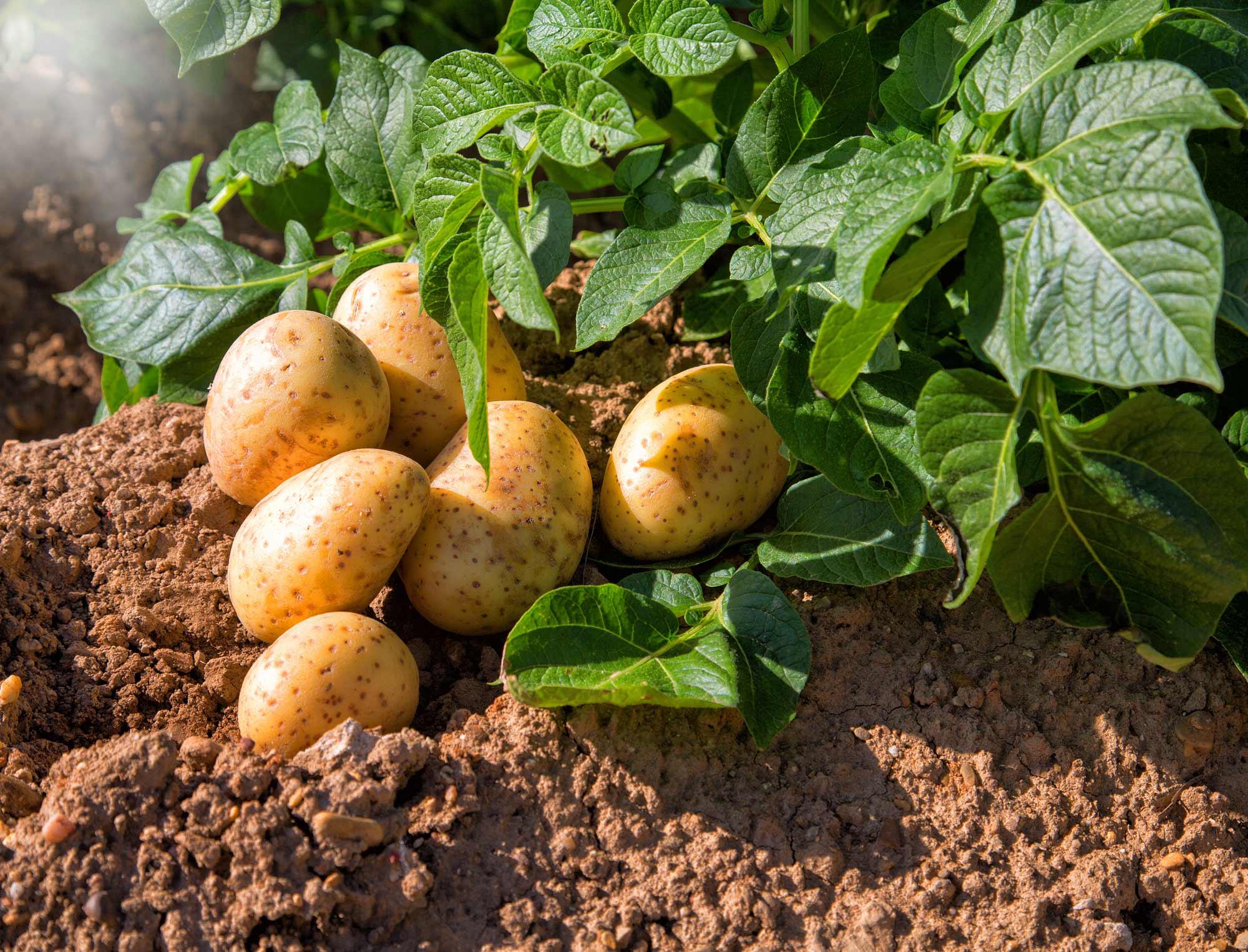 Как называется плод картофеля: клубень или ягода - молочай