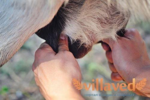 Доение козы своими руками и аппаратным методом: сколько раз в день следует доить после первого окота