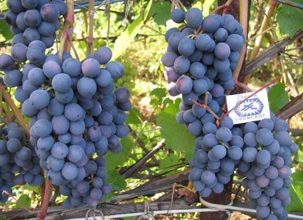 Характеристика винограда сорта вэлиант - мыдачники