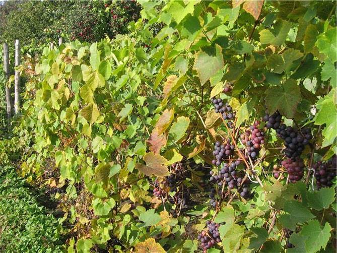 Виноград восторг: посадка, выращивание и уход. секреты и особенности содержания этого сорта в домашних условиях (видео и 95 фото)