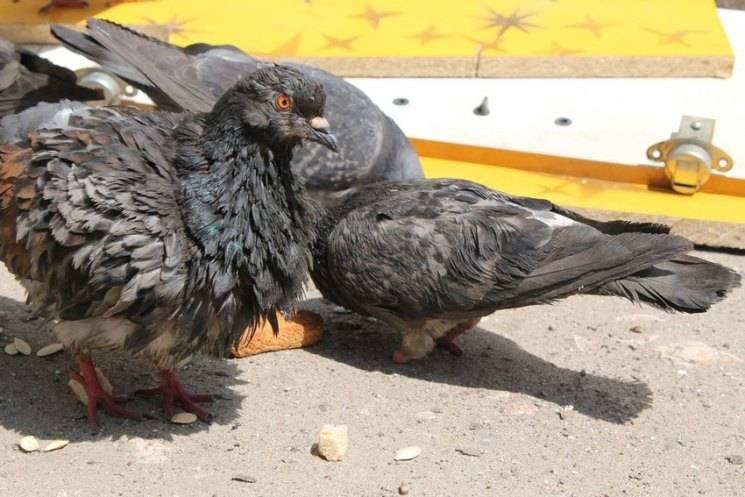 Болезни голубей, их симптомы и лечение