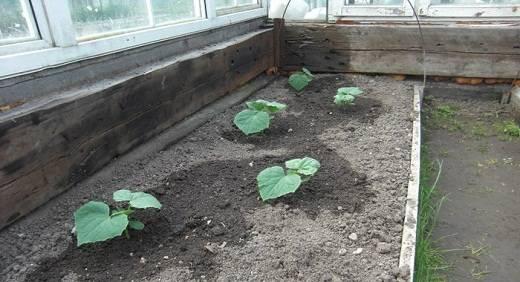 Удобрения для огурцов в теплице из поликарбоната: подготовка грунта (почвы) и чем подкормить овощ весной? русский фермер