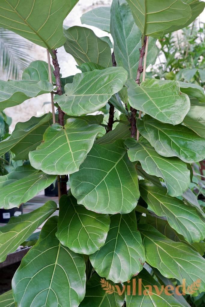 Фикус лировидный: тропический красавец в вашем доме   огородники