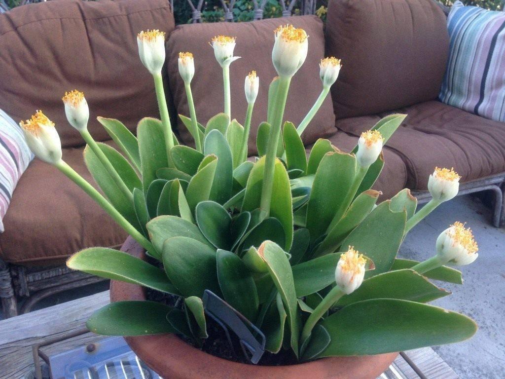 Гемантус (haemanthus). период покоя и цветения, правила ухода, размножения. | floplants. о комнатных растениях
