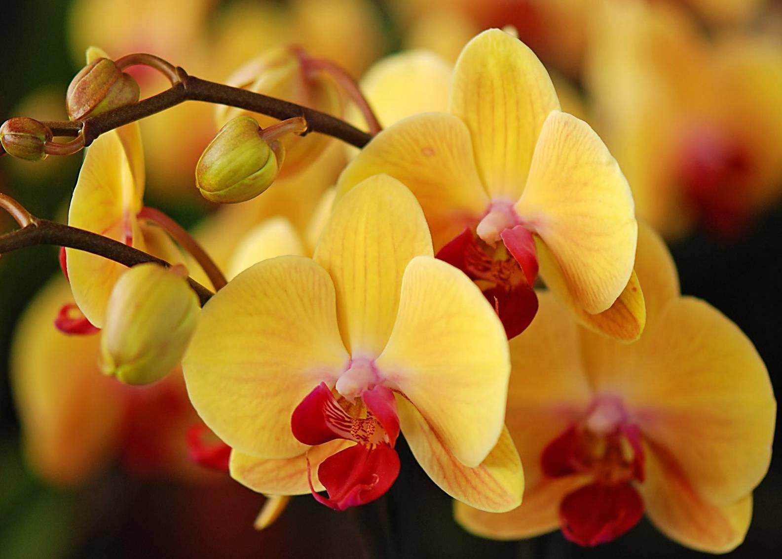 Почему желтеют нераспустившиеся бутоны у орхидеи и что делать для предотвращения этого?