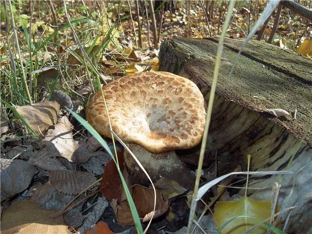 Грибы растущие в сосновом лесу: все виды с фото, названиями и описанием