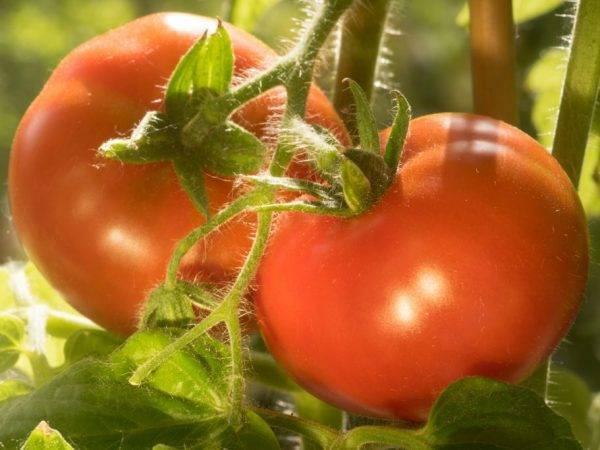 Томат багира: характеристика и описание, отзывы, фото, урожайность сорта