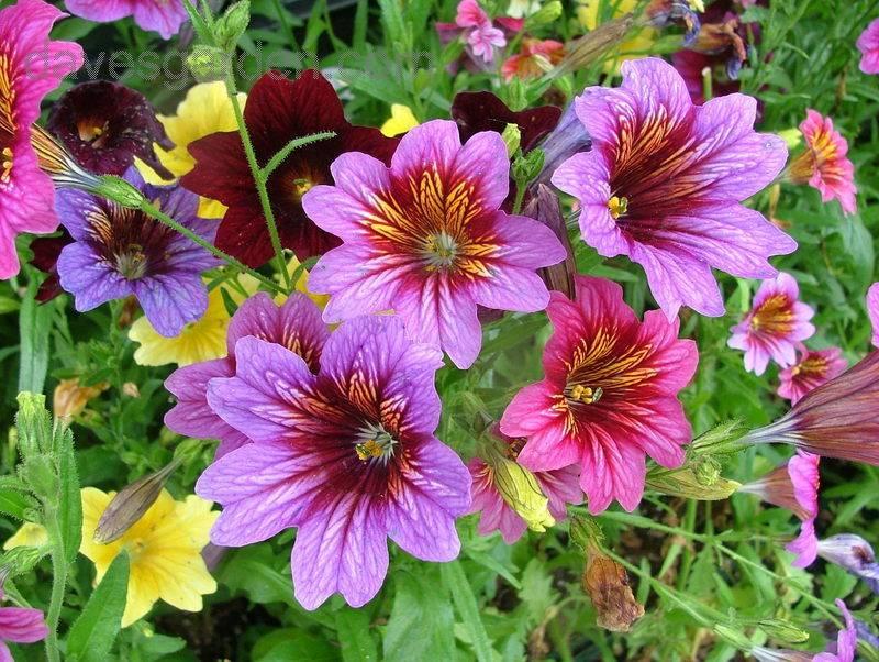 Сальпиглоссис: выращивание из семян, посадка и уход + фото