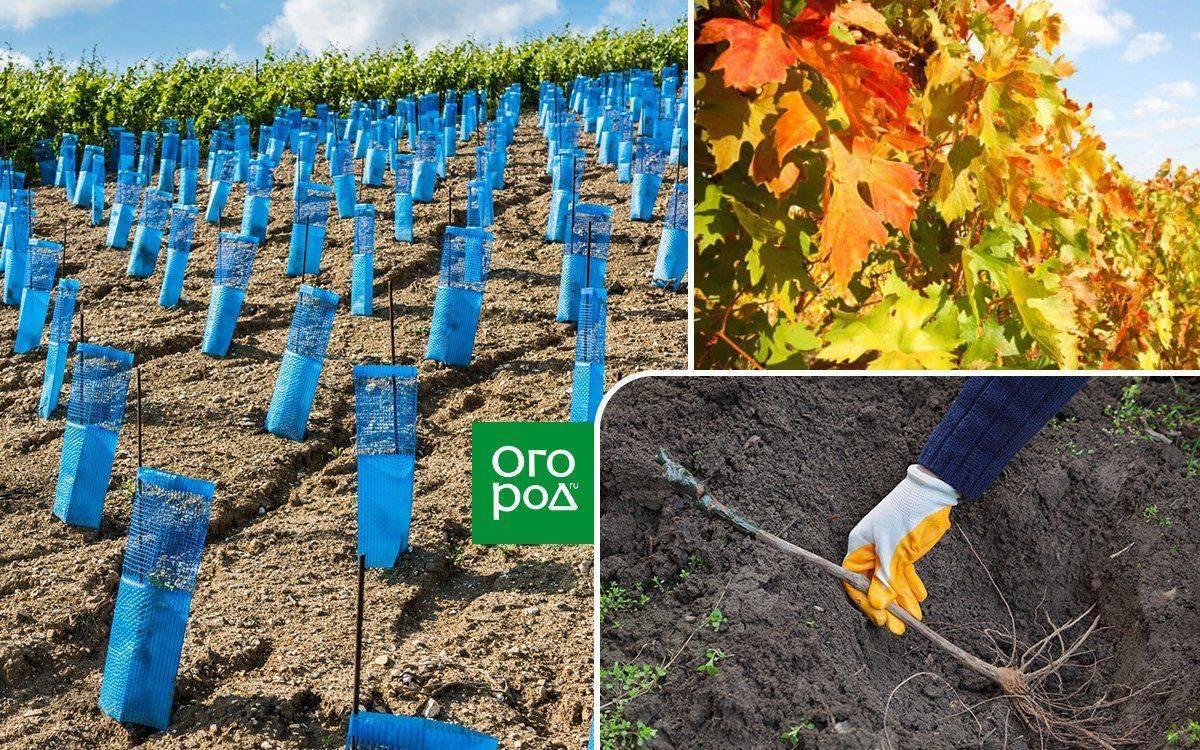Посадка винограда - когда лучше сажать виноград: инструкция для начинающих