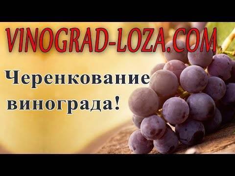 Проращивание черенков винограда: хранение зимой и способы прорастить в домашних условиях, видео