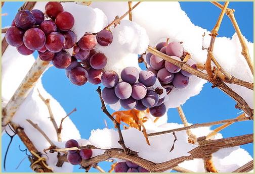 Как укрыть молодой виноград на зиму с фото, видео обрезка, подкормка