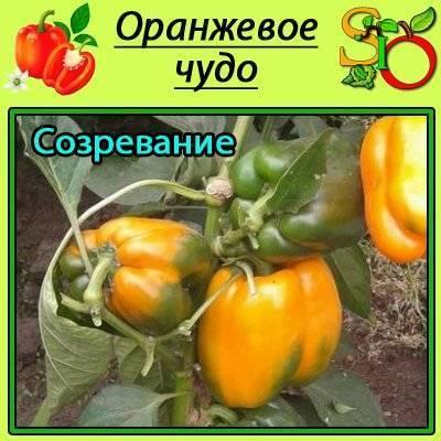 """Перец """"оранжевое чудо"""": описание сорта, отзывы, фото"""