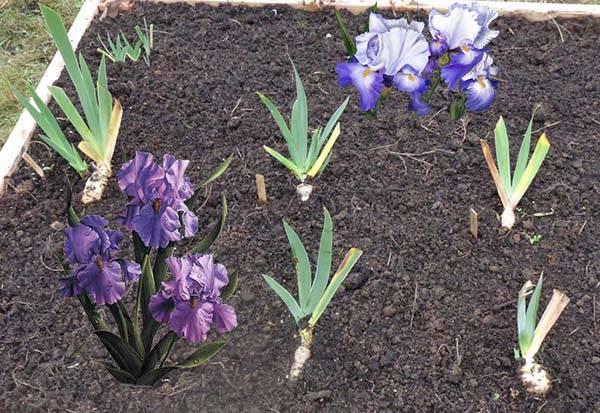 Когда лучше пересаживать ирисы: весной или осенью