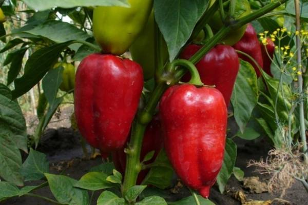 Перец айвенго - характеристика и описание сорта, фото, урожайность, отзывы овощеводов