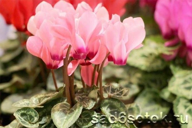 Уход за цикламеном в периоде покоя, как помочь растению уйти в спячку