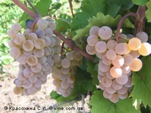 Ранний урожайный виноград магарач