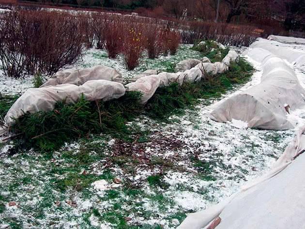 Укрываем розы на зиму в Сибири — особенности процедуры