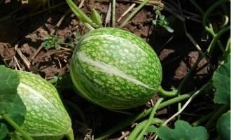 Как вырастить тыкву «грибовскую кустовую»: секреты агротехники