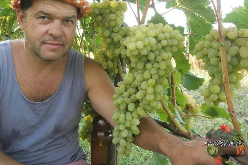 Виноград аркадия розовая - мир винограда - сайт для виноградарей и виноделов