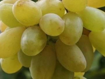 Сорт винограда элегант: что нужно знать о нем, описание сорта, отзывы