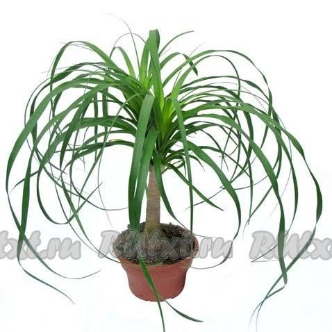 Комнатный цветок – нолина (бокарнея) или бутылочное дерево. уход в домашних условиях