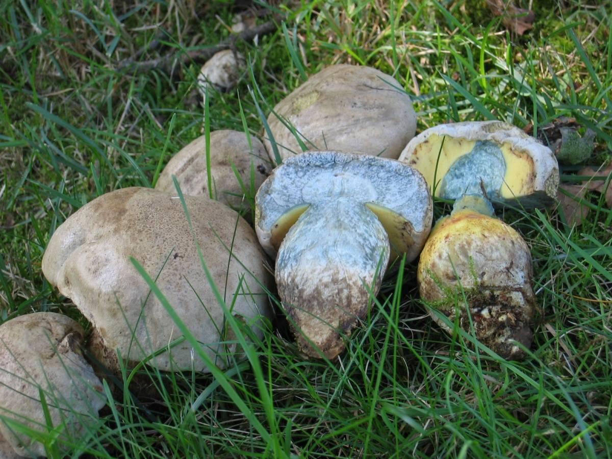 Гриб боровик: фото, описание видов боровика (белого дубового гриба, боровика бронзового и девичьего)