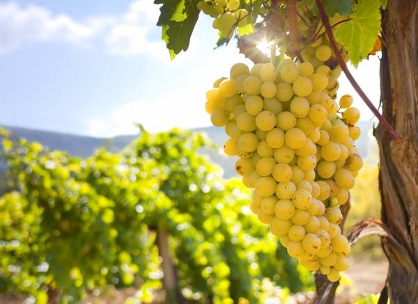Виноград без косточек: сорта и их свойства