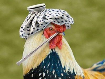 Симптомы птичьего гриппа у кур и других птиц, возможное лечение и профилактика куриной чумы
