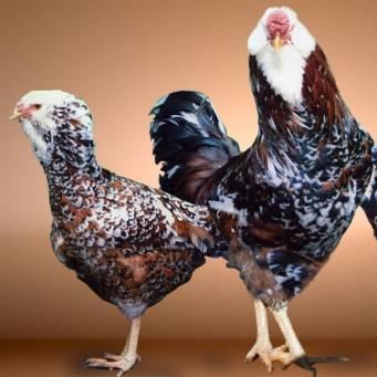 Ливенская ситцевая порода кур: описание, отзывы, фото