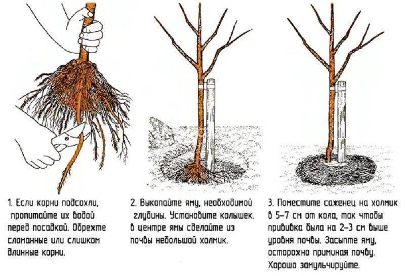 Когда лучше сажать грушу: весной или осенью