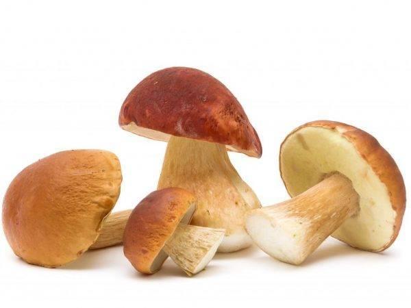 Как обработать белые грибы после сбора. первичная обработка грибов