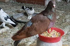 Как вырастить здорового птенца голубя? условия содержания и кормления
