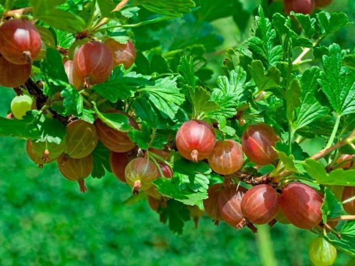 Посадка крыжовника: уход за саженцами, подкормка и основные сложности выращивания ягоды (135 фото + видео)