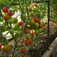 Чем подкормить помидоры в теплице после высадки, чтобы были толстенькие
