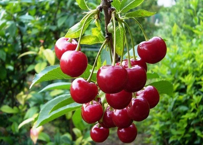 Опылитель для вишни шоколадница: описание, отзывы