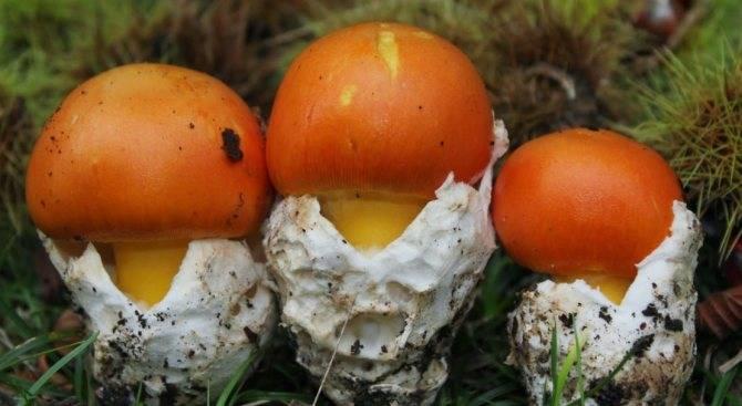 Цезарский гриб