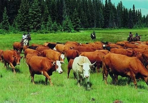Бык-производитель — отбор и условия содержания