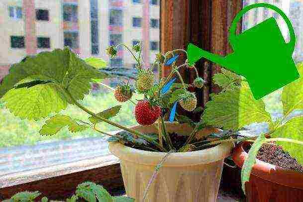 Как вырастить клубнику в домашних условиях? и собирать урожай круглый год у себя на подоконнике