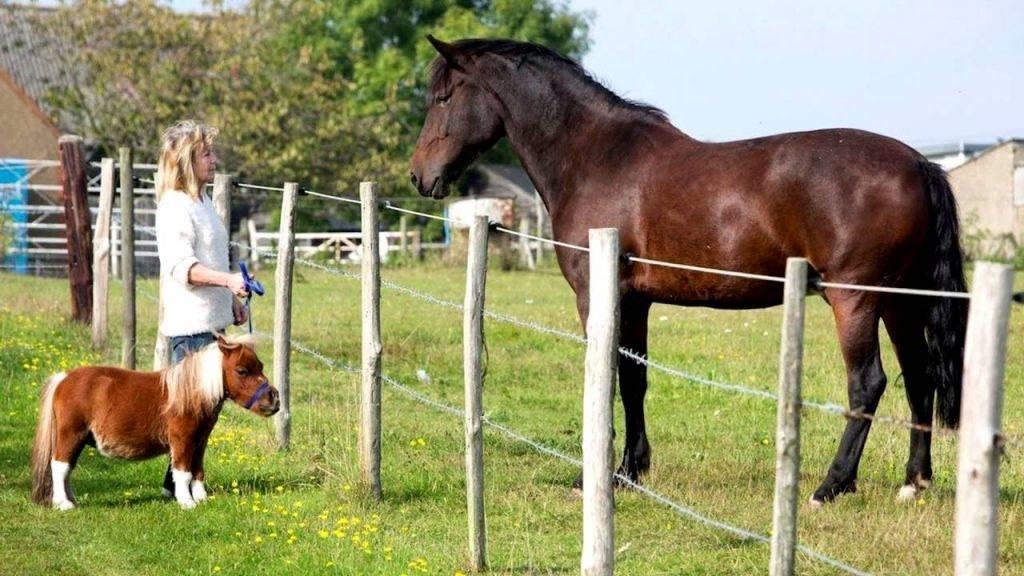Особенности миниатюрных лошадей