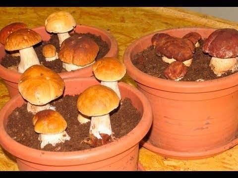 Грибы дома - особенности выращивания грибов на пеньках | cельхозпортал